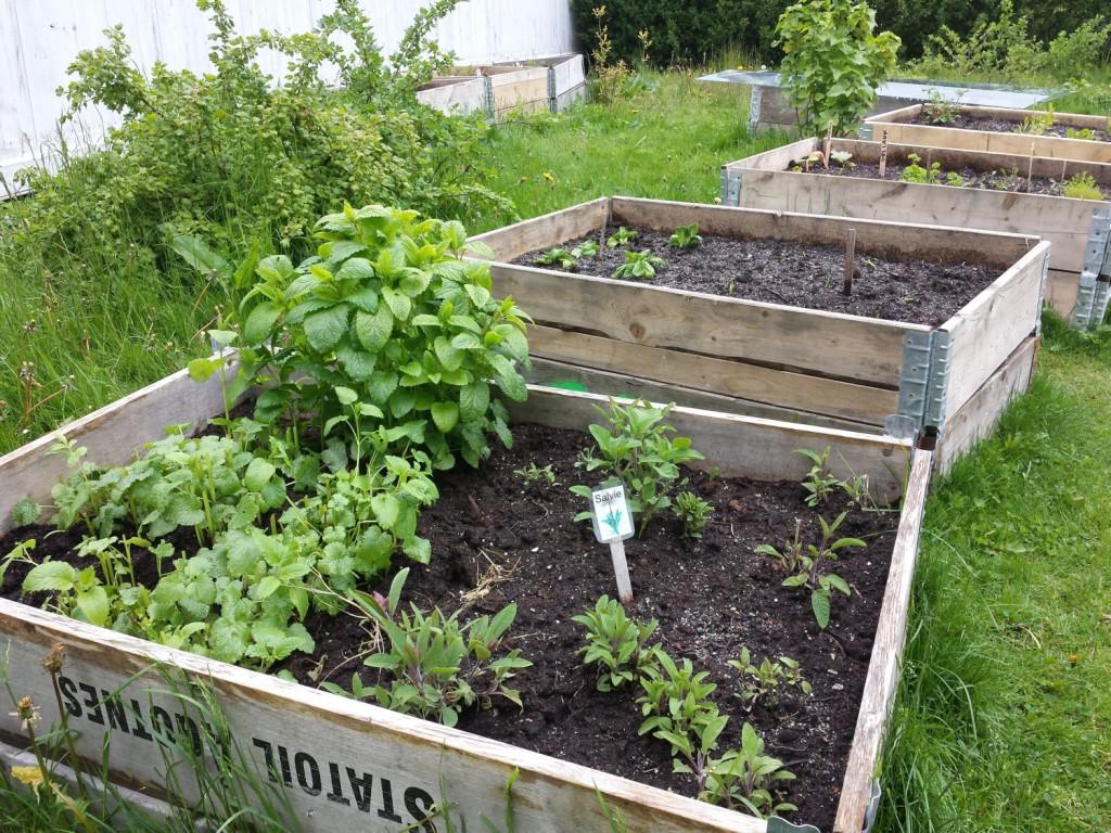 Det spirer og gror i felleshagen til Bærekraftige liv på Nordnes. Hver onsdag kan du være med. Foto: Eva Johansen