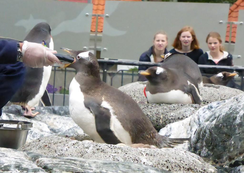Hver dag kan du få med deg mating av pingvinene. Foto: Eva Johansen