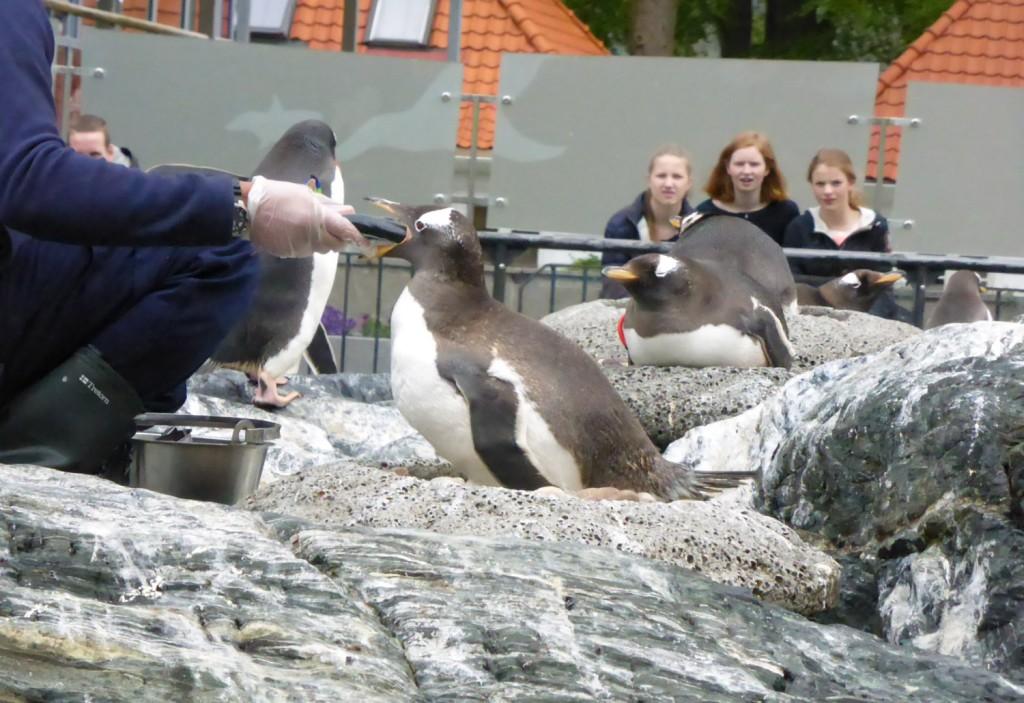 pingvinforing
