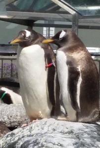 Pingvinene følger interessert med på konserten. Tror vi. Foto: Line Mikkelsen