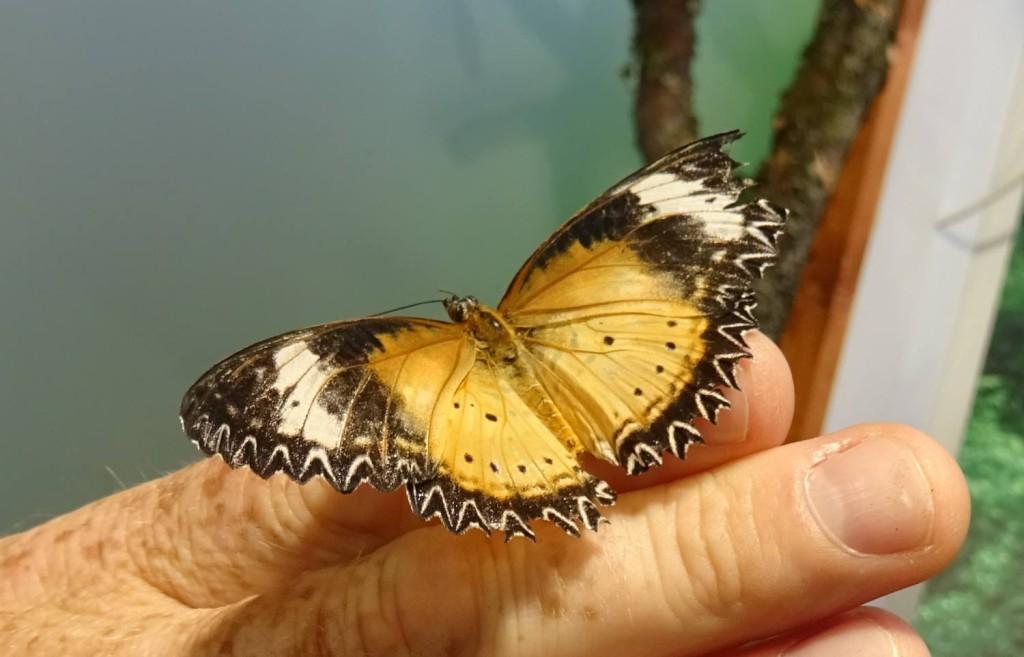 Akvariet_sommerfugl_hånd