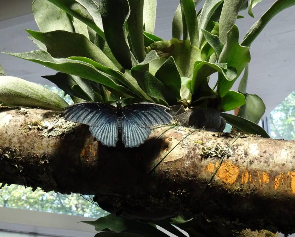 Akvariet_svartsommerfugl