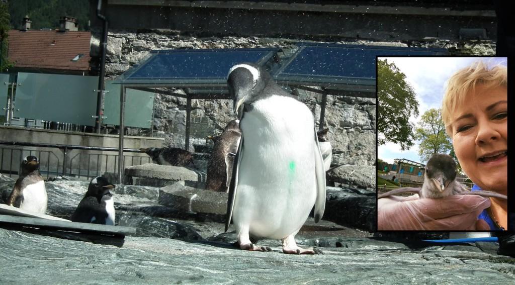 Statsminister Erna Solberg besøkte pingvinen da den bare var vel en uke gammel. Foto: Eva Johansen/Pressebilde.