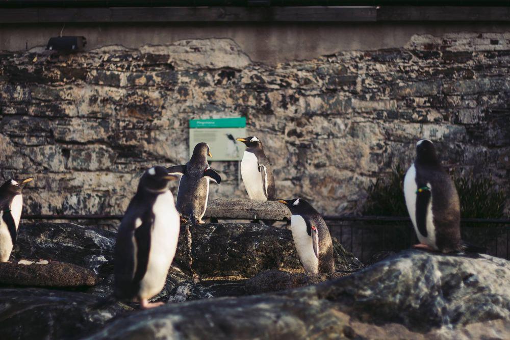 Uteområde: Per dags dato har Akvariet i Bergen 30 pingviner.