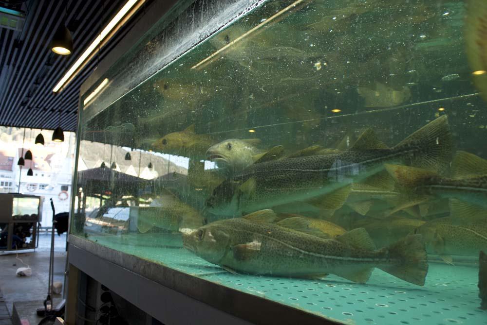 Levende torsk: Slik holder man torsken fersk til middag.