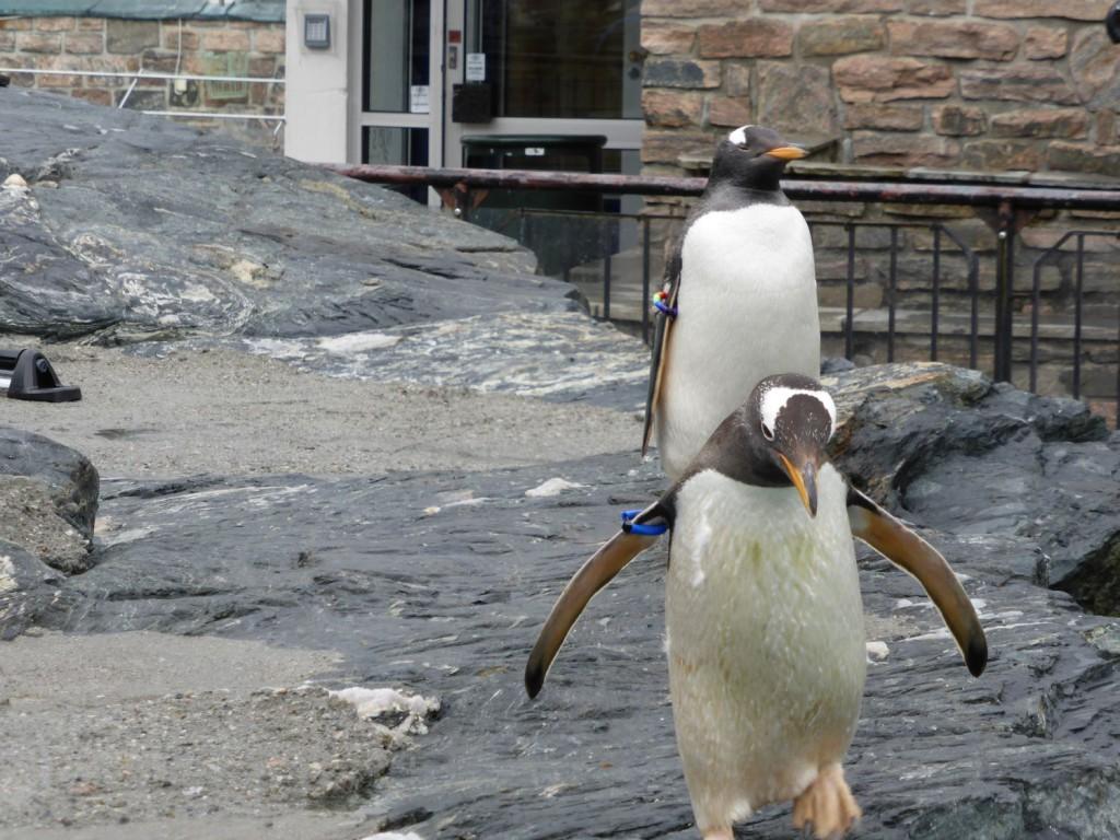 På Akvariet blir pingvinene vesentlig eldre enn gjennomsnittet for arten. Foto: Eva Johansen