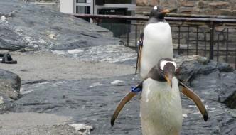 12 pingviner flytter til Kina