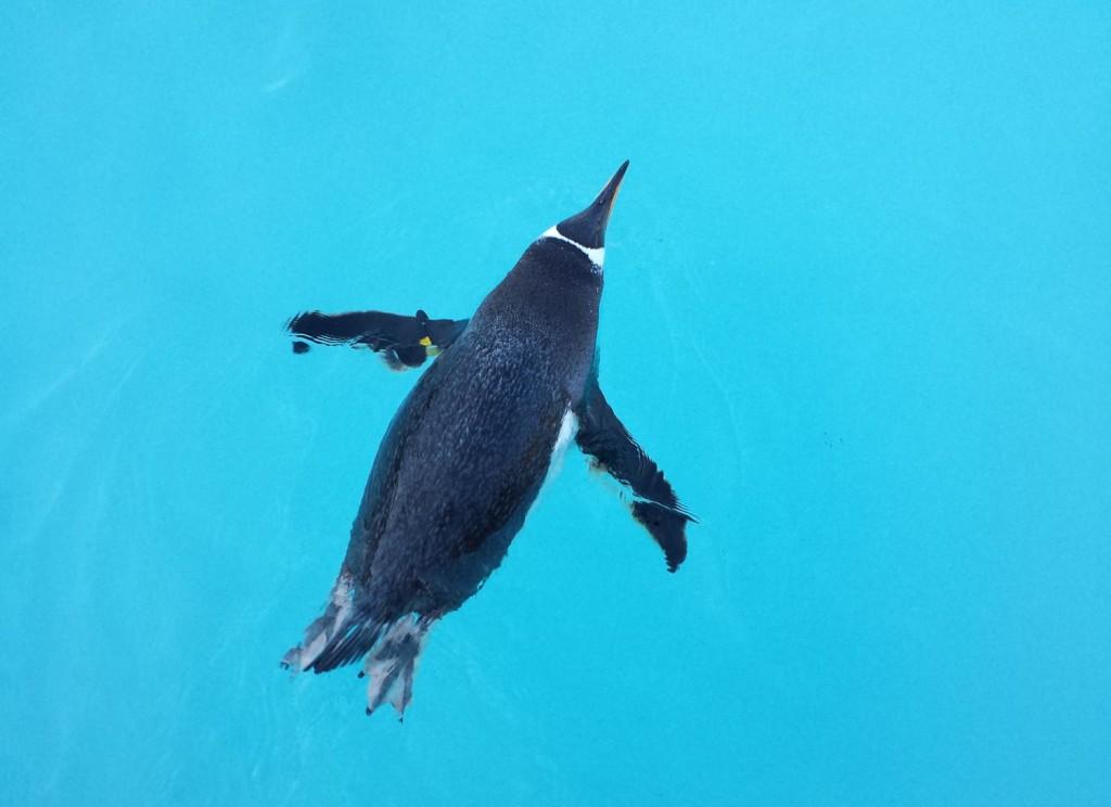 """Pingvinene trives """"for godt"""" på Akvariet, så de blir svært gamle. Men det må utskifting til for å unngå innavl. Foto: Eva Johansen"""
