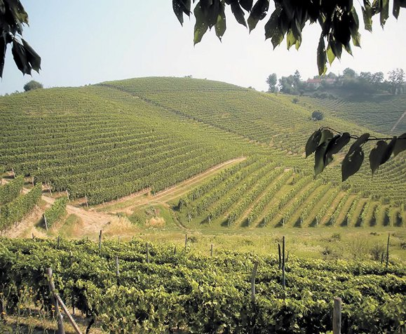Vinmarker beplantet med barbera i Monferrato.