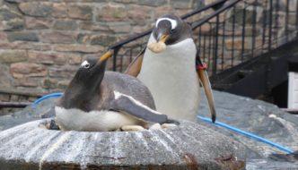 Pingvinuke og fiskemarket