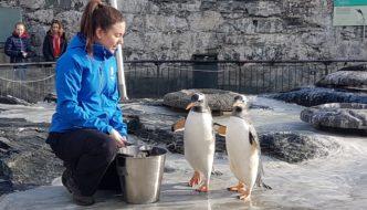 Seks nye pingviner til Akvariet