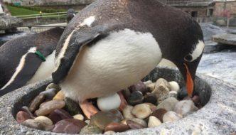 Tre egg kan bli pingvinkyllinger